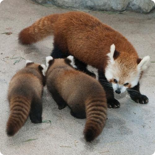 Малые панды из Вашингтона