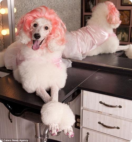 Популярность собачьих париков набирает обороты