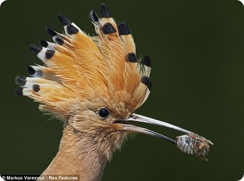 Отважная чайка атакует хищника