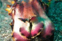 Расписная каракатица