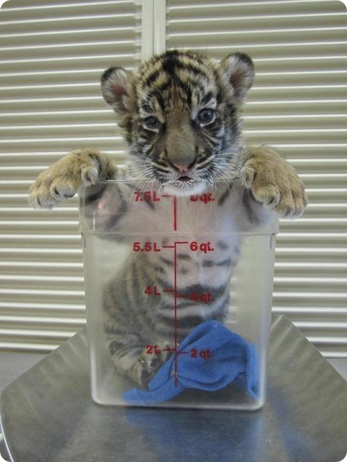 Суматранские тигры из Техаса
