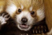 Малые панды из Оклахомы