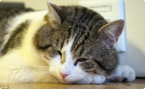 Главный кот Великобритании Ларри совсем обленился