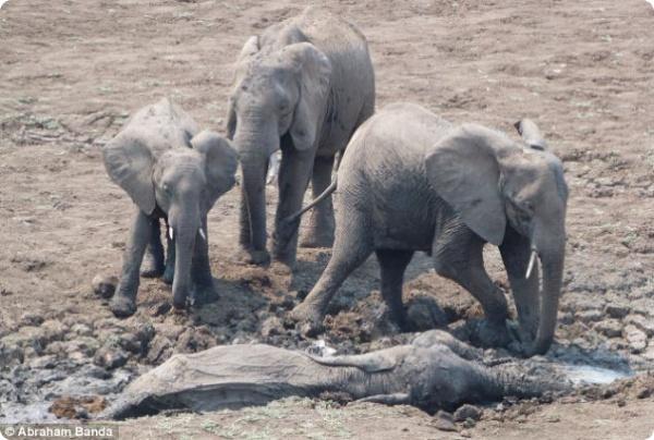 Слонов спасли из грязевого болота!
