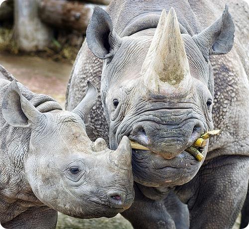 В Западной Африке не осталось черных носорогов