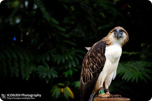 Филиппинский обезьяноед