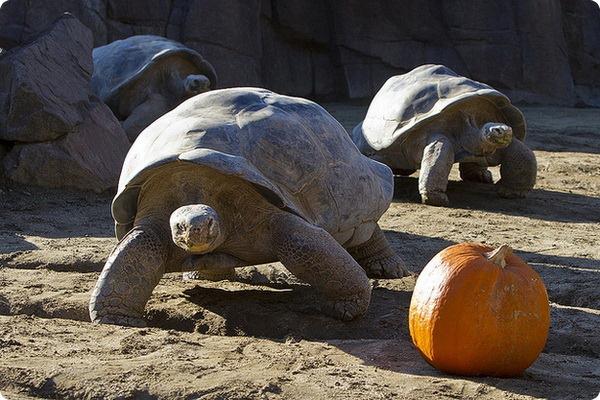 Черепахи отмечают День Благодарения