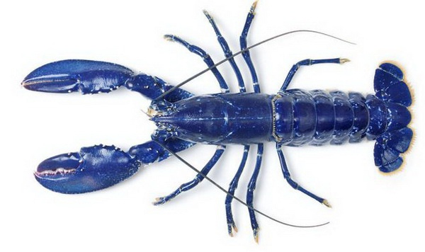 Найден уникальный голубой омар
