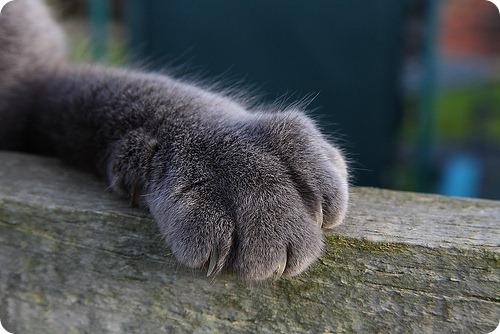 Русская голубая кошка, фотографии русской голубой