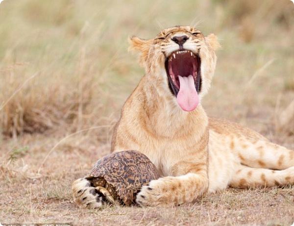 Львы не могут справиться с черепахой
