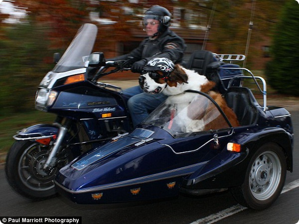 Сенбернар-мотоциклист!