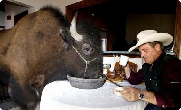 Домашний питомец - бизон