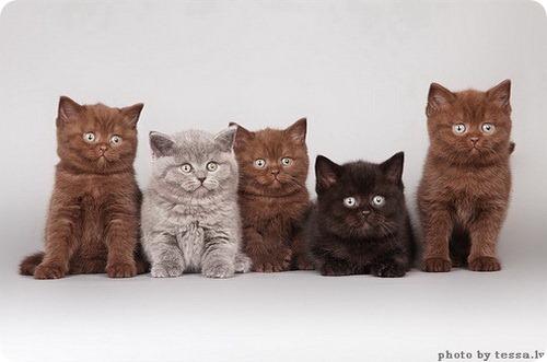 Бурманская или БурмаФотографии породы кошек Бурманская
