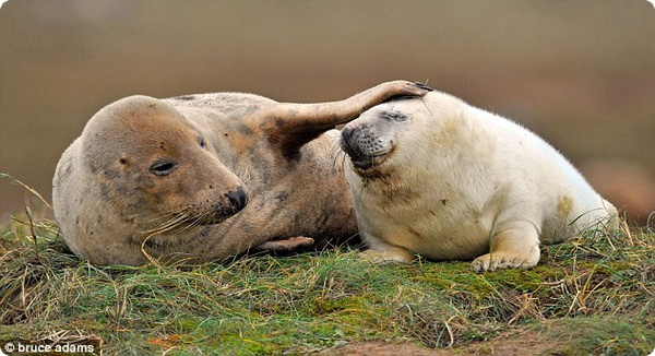 Материнские объятья тюленей