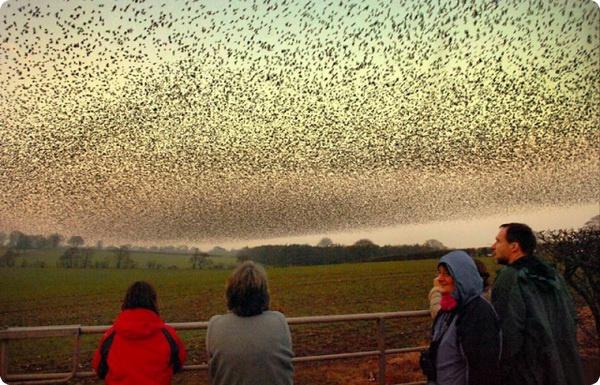 Танцующие скворцы в небе над Шотландией