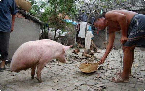 Двуногая свинка