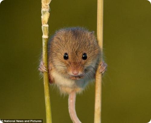 Мышь-малютка путешествует на ходулях