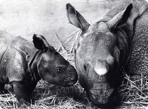 Первый носорог, родившийся в неволе