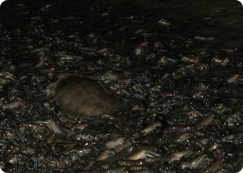 Море раков в Купер-Крик