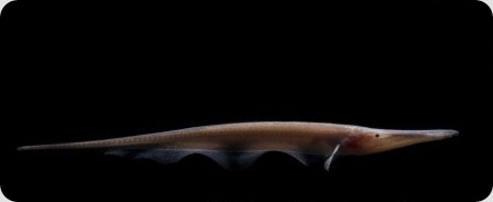 Рыба-нож Compsaraia samueli