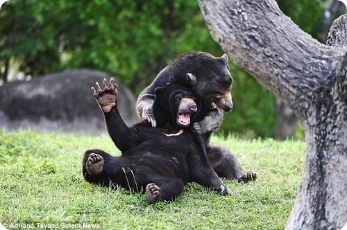 Малайские медведи – борцы-тяжеловесы