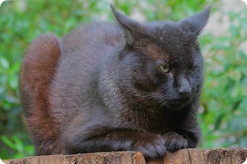 Камышовый кот или Хаус