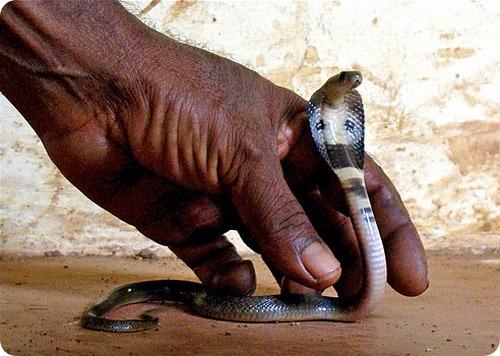 Индийский заклинатель напустил змей на налоговую