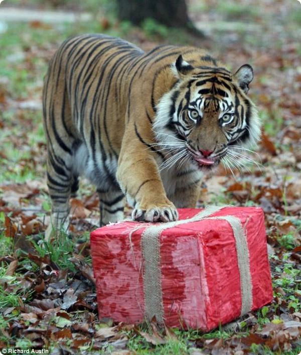 Подарок для тигрицы!