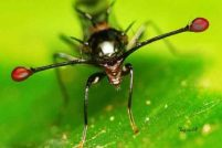 Cтебельчатоглазая муха