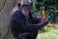 США прекращают проведение опытов над шимпанзе