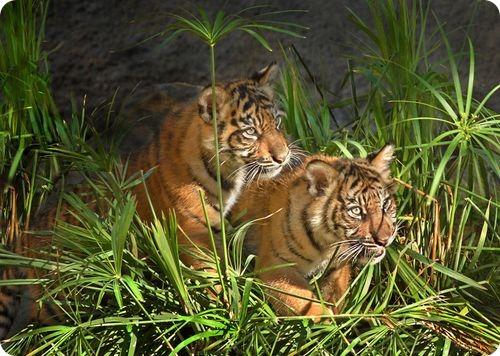 Суматранские тигрята из Лос-Анджелеса