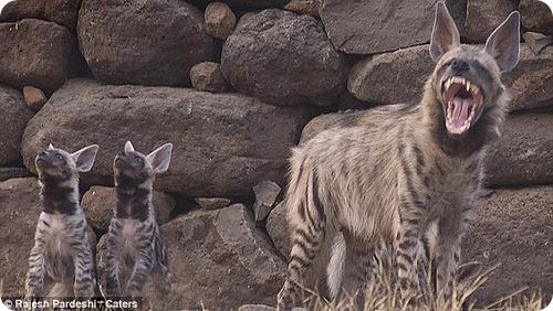 Самка полосатой гиены и ее потомство
