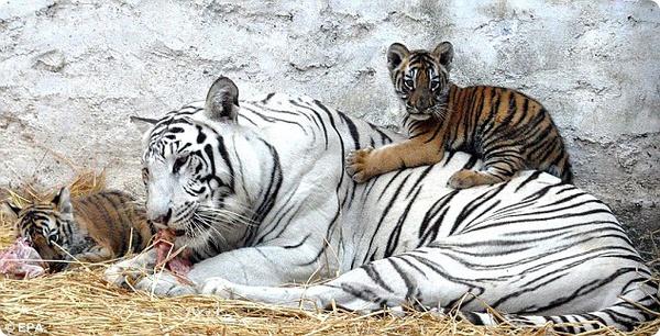 У белой тигрицы пополнение в семействе
