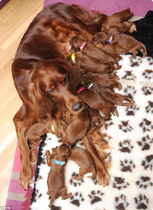 Роми, ирландский сеттер, принесла помет из 15 щенков