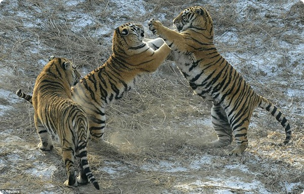 Туристы кормили голодных тигров живыми курами