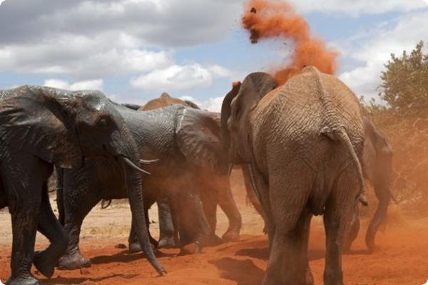 Грязевые ванны для слонят-сирот