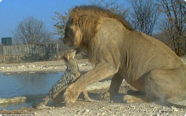 Обиженный шакал может напасть на льва