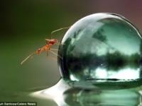 Муравей атакует  мокрый стеклянный шарик