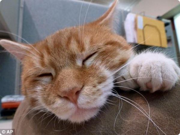 Американский кот с 26 пальцами спасает приют для животных