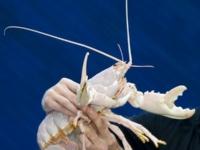 Редкому омару-альбиносу повезло