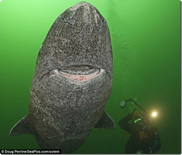Гренландская акула ест белых медведей и живёт 200 лет