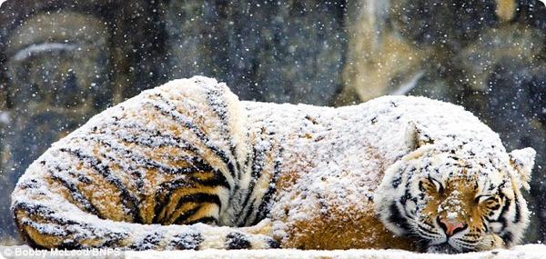 Тигр вздремнул под снежным одеялом