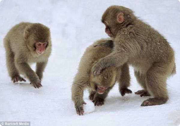 Обезьяны научились играть в снежки