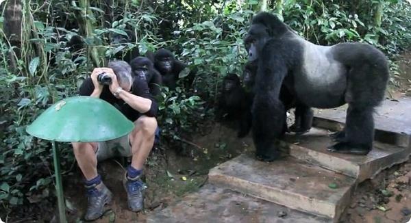 Горные гориллы приняли туриста за своего собрата