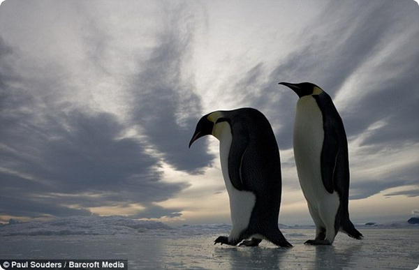 Королевские пингвины с удовольствием общаются с человеком