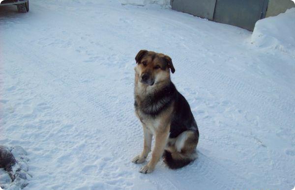 Печальная история якутского пса Хатико