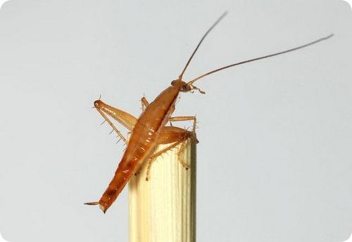 Зоологи обнаружили прыгающего таракана