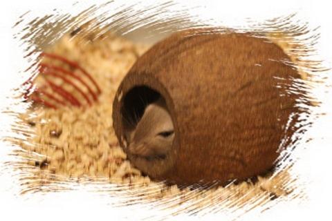 Песчанка в кокосе