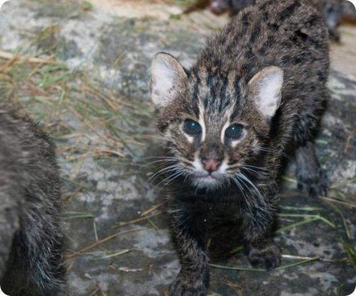 Кошка-рыболов из Огайо