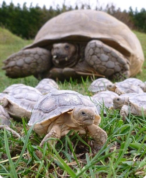 Шпороносные черепахи из Линтона